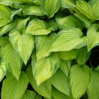 Hosta 'Fortunei Albopicta'  - Hosta 'Fortunei Albopicta'