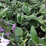 Hosta fortunei 'Francee' -