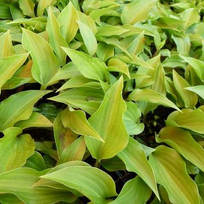Hosta 'Little Red Rooster'