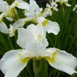 Iris sibirica 'Snow Queen' - Iris sibirica 'Snow Queen'