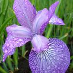 Iris sibirica 'Sparkling Rose' - Iris sibirica 'Sparkling Rose'