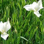 Iris sibirica 'White Swirl' - Iris sibirica 'White Swirl'