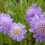 Acker-Witwenblume - Knautia arvensis