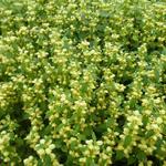Lamiastrum galeobdolon - Lamier jaune - Lamiastrum galeobdolon