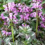 Lamium maculatum 'Chequers' - Lamium maculatum 'Chequers'