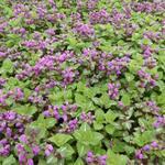 Lamium maculatum 'Roseum' - Lamium maculatum 'Roseum'