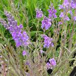 Linaria purpurea - Linaria purpurea