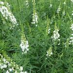 Linaria purpurea 'Springside White' - Linaria purpurea 'Springside White'