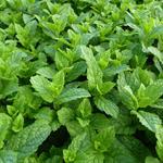 Mentha spicata 'Maroccan'  - Mentha spicata 'Maroccan'