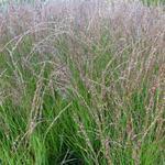Molinia caerulea subsp. caerulea 'Heidezwerg' - Molinia caerulea subsp. caerulea 'Heidezwerg'