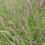 Molinia caerulea subsp. caerulea 'Moorhexe' - Molinia caerulea subsp. caerulea 'Moorhexe'