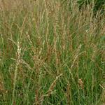 Molinia caerulea subsp. caerulea 'Poul Petersen' - Molinia caerulea subsp. caerulea 'Poul Petersen'