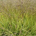 Molinia caerulea subsp. caerulea 'Variegata'  - Molinia caerulea subsp. caerulea 'Variegata'
