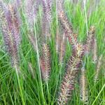 Pennisetum alopecuroides 'Cassian' - Pennisetum alopecuroides 'Cassian'