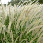 Pennisetum orientale 'Fairy Tails' - Pennisetum orientale 'Fairy Tails'