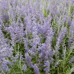 Perovskia atriplicifolia 'Lacey Blue' - Perovskia atriplicifolia 'Lacey Blue'