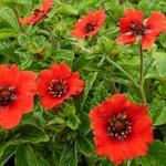 Potentilla nepalensis 'Gibson's Scarlet' - Potentilla nepalensis 'Gibson's Scarlet'