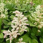 Rodgersia aesculifolia -