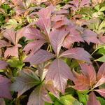 Rodgersia podophylla 'Braunlaub' - Rodgersia podophylla 'Braunlaub'
