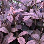 Rodgersia pinnata 'Chocolate Wings'  -