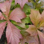 Rodgersia podophylla 'Rotlaub' - Rodgersia podophylla 'Rotlaub'