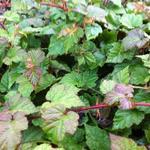 Rubus tricolor - RONCE CHINOIS - Rubus tricolor