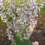 Sauge sclarée - Salvia sclarea
