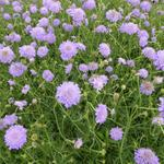 Scabiosa columbaria 'Butterfly Blue' -