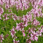 Stachys officinalis 'Pink Cotton Candy' -