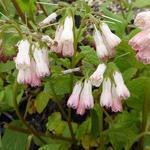 Symphytum grandiflorum 'Hidcote Pink' - Symphytum grandiflorum 'Hidcote Pink'