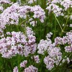 Valériane officinale - Valeriana officinalis