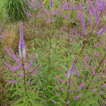 Veronicastrum virginicum 'Fascination' -