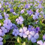 Vinca minor 'Flower Power' - Vinca minor 'Flower Power'