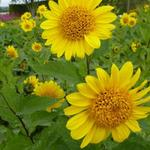 Helianthus decapetalus 'Capenoch Star' -