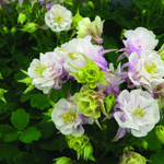 Aquilegia Vulgaris WINKY 'Double Rose-White' - Aquilegia Vulgaris WINKY 'Double Rose-White'