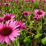Echinacea purpurea 'Fatal Attraction' - Echinacea purpurea 'Fatal Attraction'