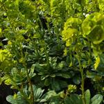 Euphorbia amygdaloides var. robbiae - Euphorbia amygdaloides subsp. robbiae - Euphorbia amygdaloides var. robbiae