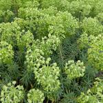 Euphorbia characias ssp wulfenii - Euphorbia characias ssp wulfenii