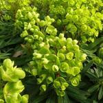 Euphorbia 'Redwing' - Euphorbia 'Redwing'