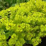 Euphorbia seguieriana subsp. niciciana - Euphorbia seguieriana subsp. niciciana