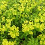 Euphorbia wallichii - Euphorbia wallichii
