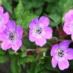 Geranium 'Sylvias Surprise' -