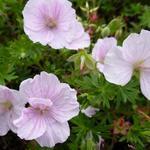 Geranium sanguineum 'Apfelblüte' - Geranium sanguineum 'Apfelblüte'