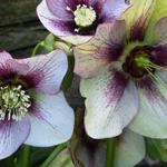 Helleborus orientalis 'DOUBLE ELLEN Picotee' - Helleborus orientalis 'DOUBLE ELLEN Picotee'