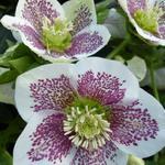 Helleborus orientalis 'Spotted hybrids' - Helleborus orientalis 'Spotted hybrids'