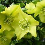 Helleborus orientalis 'Yellow Lady' - Helleborus orientalis 'Yellow Lady'