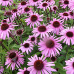 Echinacea purpurea 'Augustkönigin' - Echinacea purpurea 'Augustkönigin'