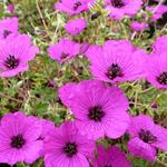 Geranium cinereum var. subcaulescens - Geranium cinereum var. subcaulescens