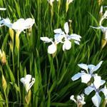 Iris laevigata 'Snowdrift' - Iris laevigata 'Snowdrift'