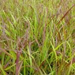Panicum virgatum 'Rotstrahlbusch' - Panicum virgatum 'Rotstrahlbusch'